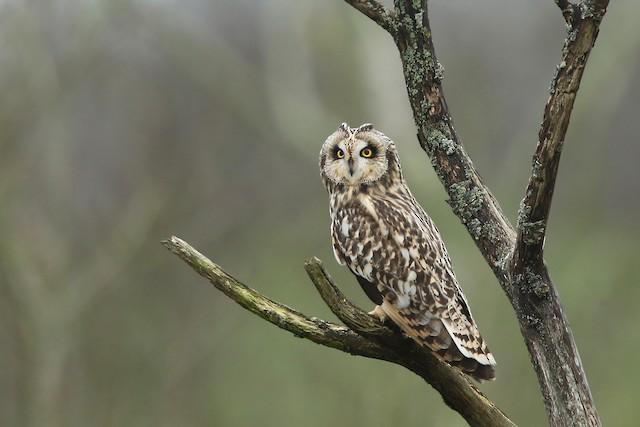 Short-eared Owl ML208396041