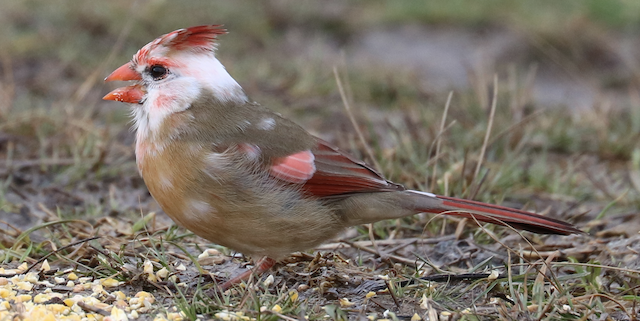 Partially leucistic Northern Cardinal.