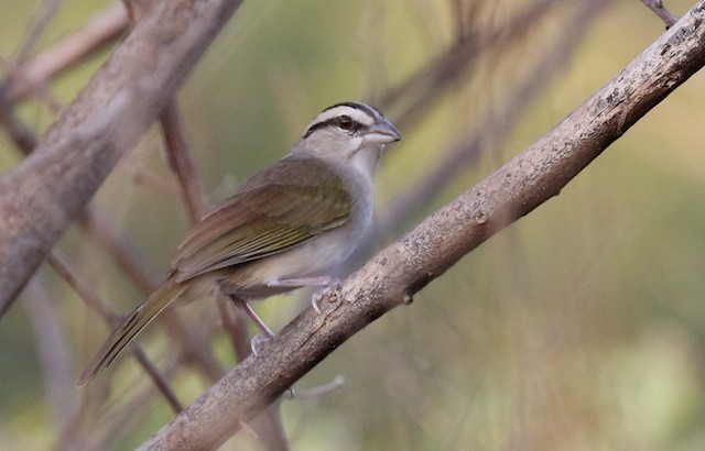 Tocuyo Sparrow