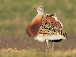 - Great Bustard