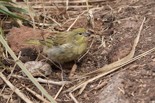 - Inaccessible Island Finch