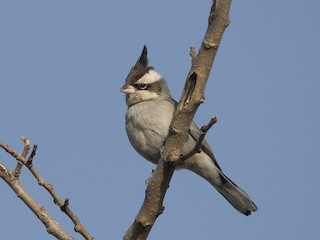 - Black-crested Finch