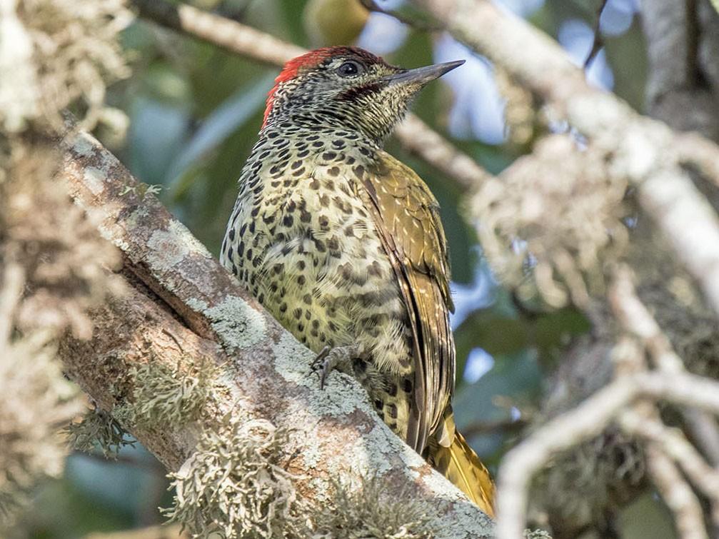 Knysna Woodpecker - Bruce Ward-Smith