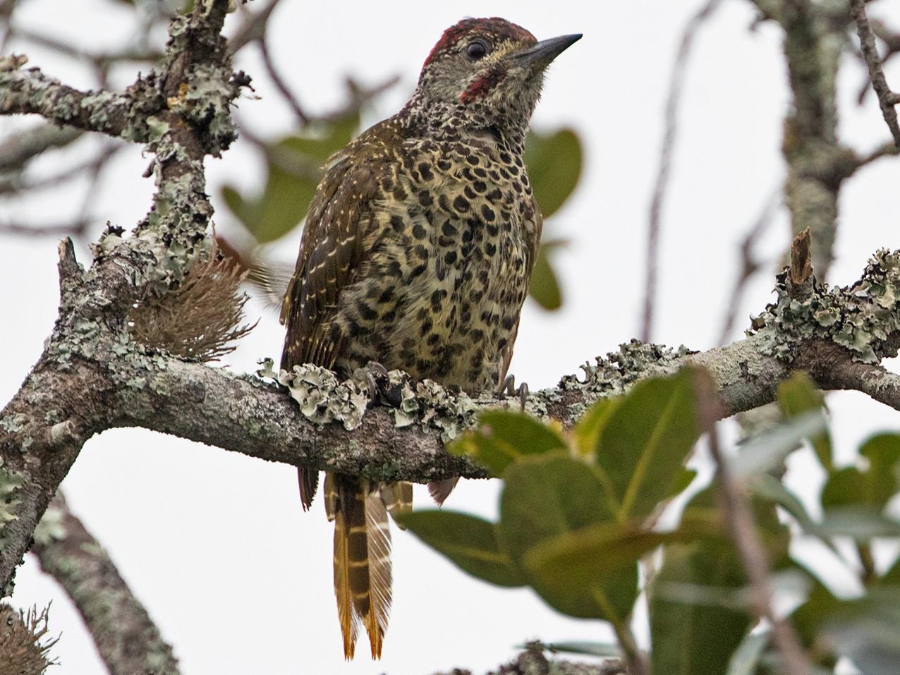 Knysna Woodpecker - Zak Pohlen