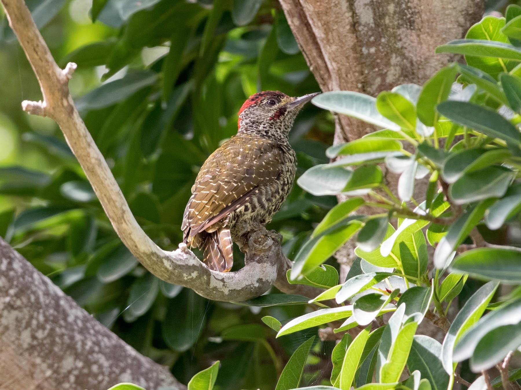 Knysna Woodpecker - Shailesh Pinto