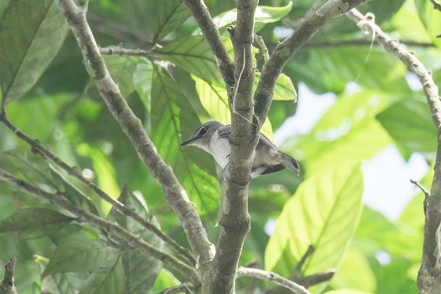 Ashy Flycatcher (presumed subspecies <em>nigrorum</em>).