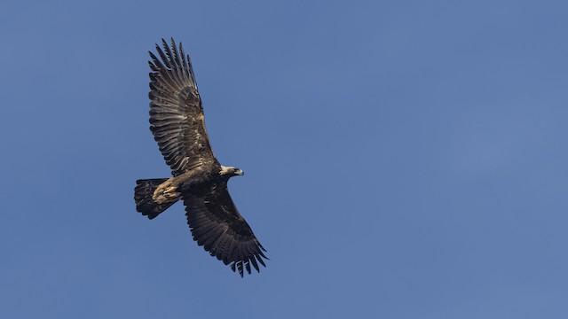 Golden Eagle (United States).