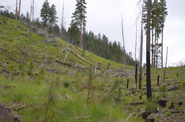Example of White-headed Woodpecker nesting habitat: Washington, USA.