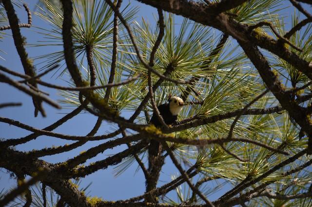 White-headed Woodpecker carrying western spruce bud worm larvae to nestlings in Washington.