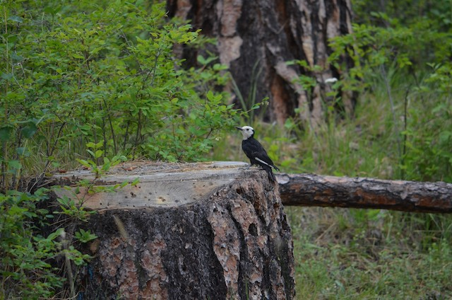 White-headed woodpecker foraging for wood boring beetle larvae on cut stumps.