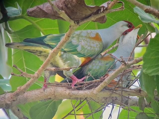 Wallace's Fruit-Dove