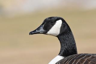 Canada Goose, ML209373131