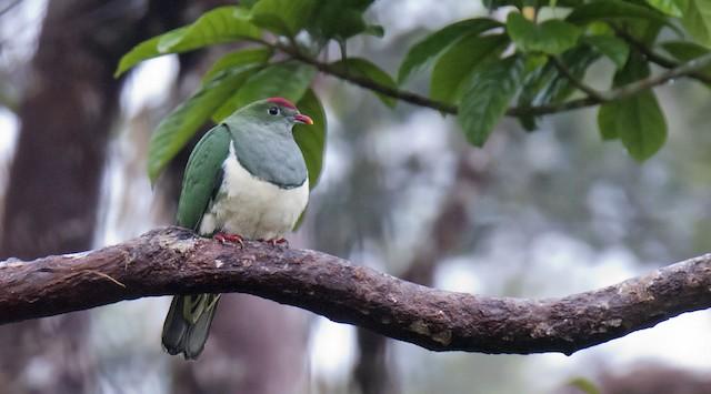 Cream-breasted Fruit-Dove