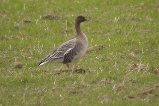 Pink-footed Goose, ML209559561