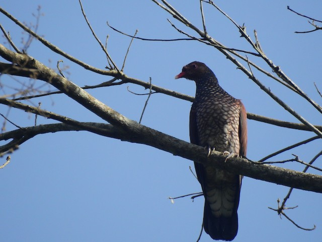 Scaled Pigeon