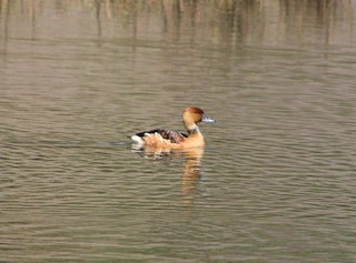 Fulvous Whistling-Duck, ML209867751