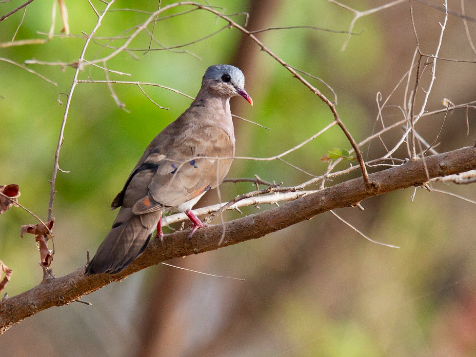 Blue-spotted Wood-Dove - Robert Tizard