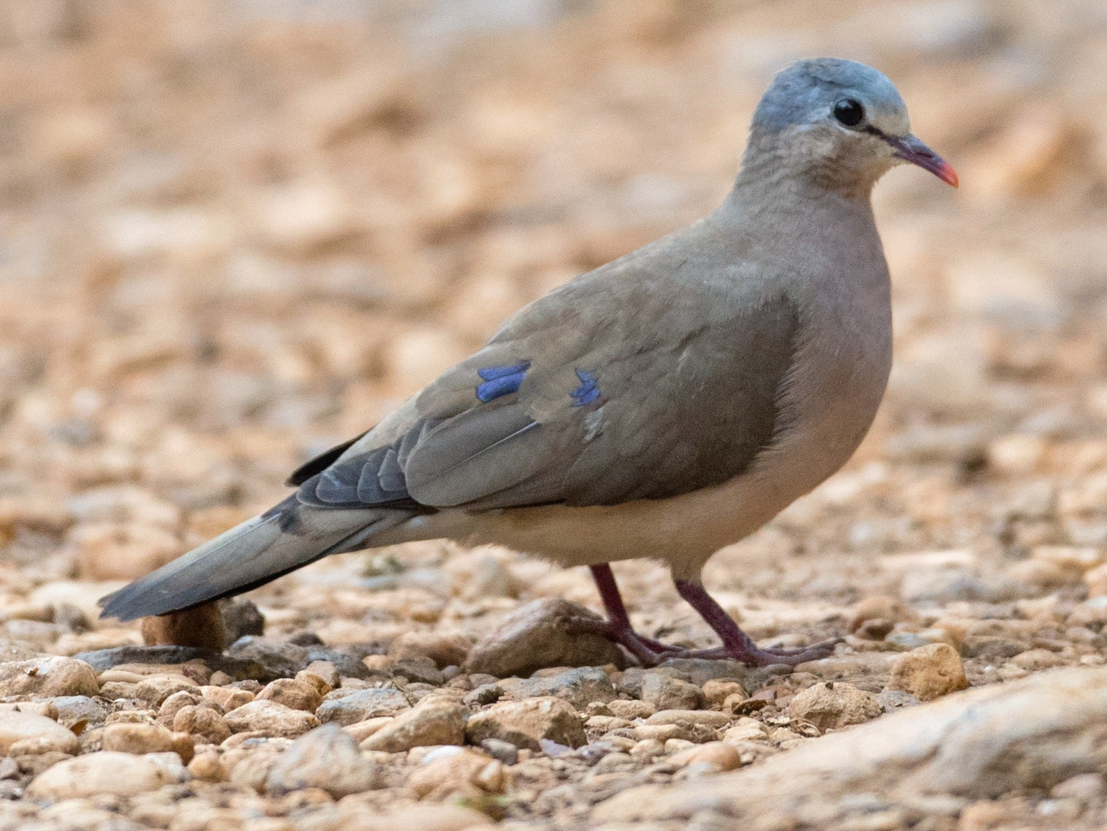 Blue-spotted Wood-Dove - Ian Davies