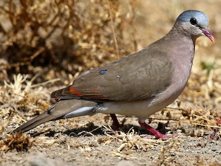 - Blue-spotted Wood-Dove