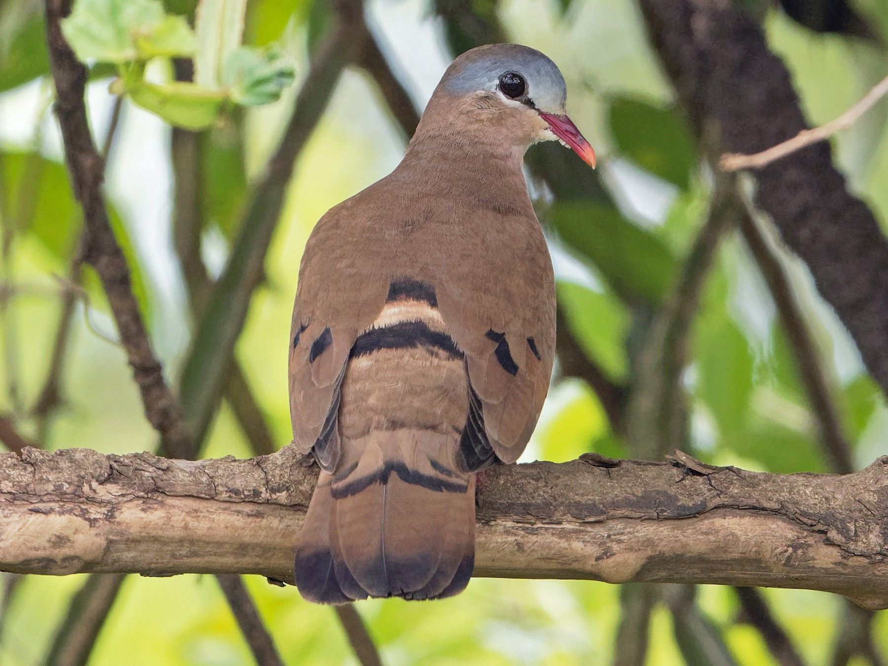 Blue-spotted Wood-Dove - Vincent Wang