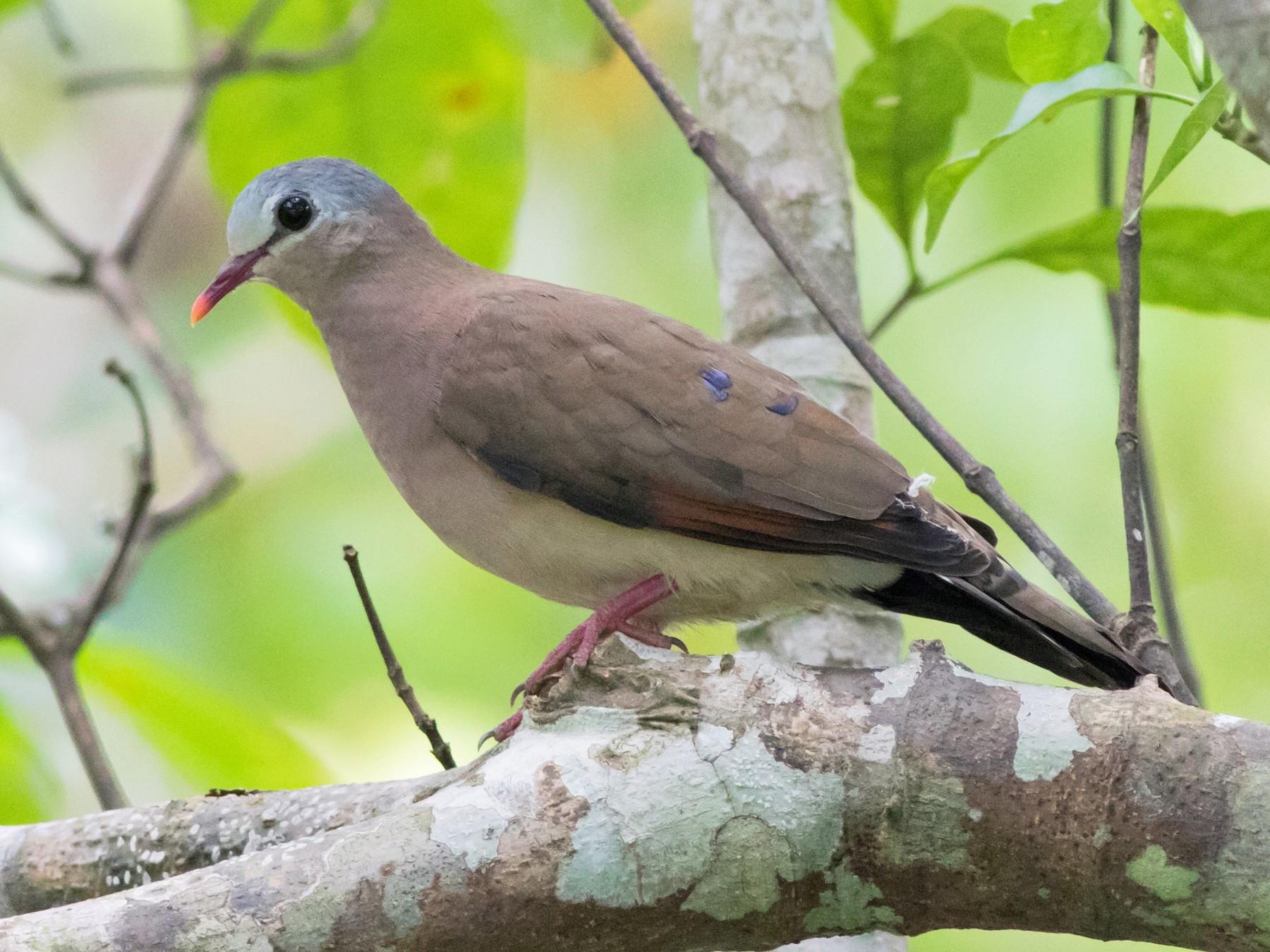 Blue-spotted Wood-Dove - Joachim Bertrands