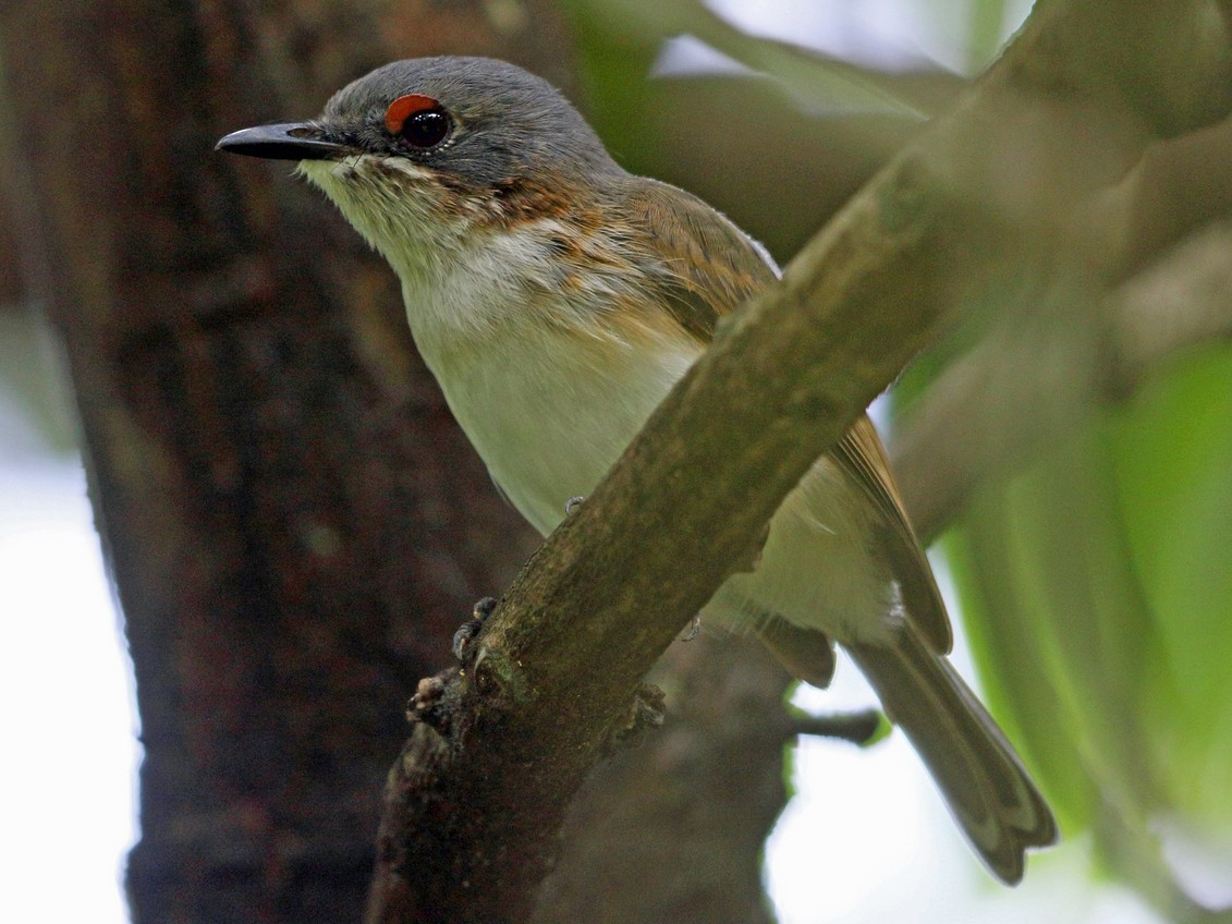 Black-throated Wattle-eye - Nigel Voaden
