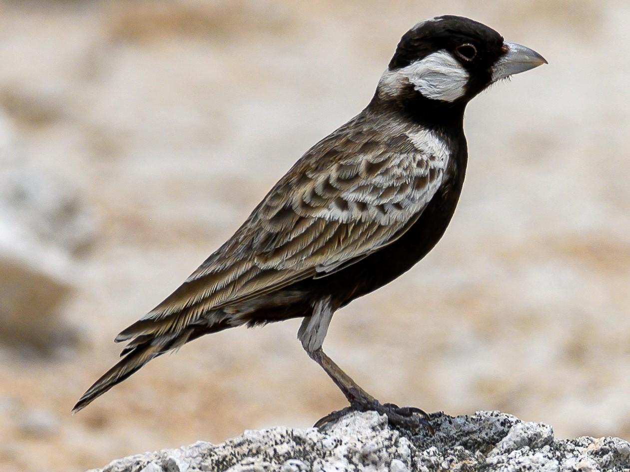Gray-backed Sparrow-Lark - Stephen Davies