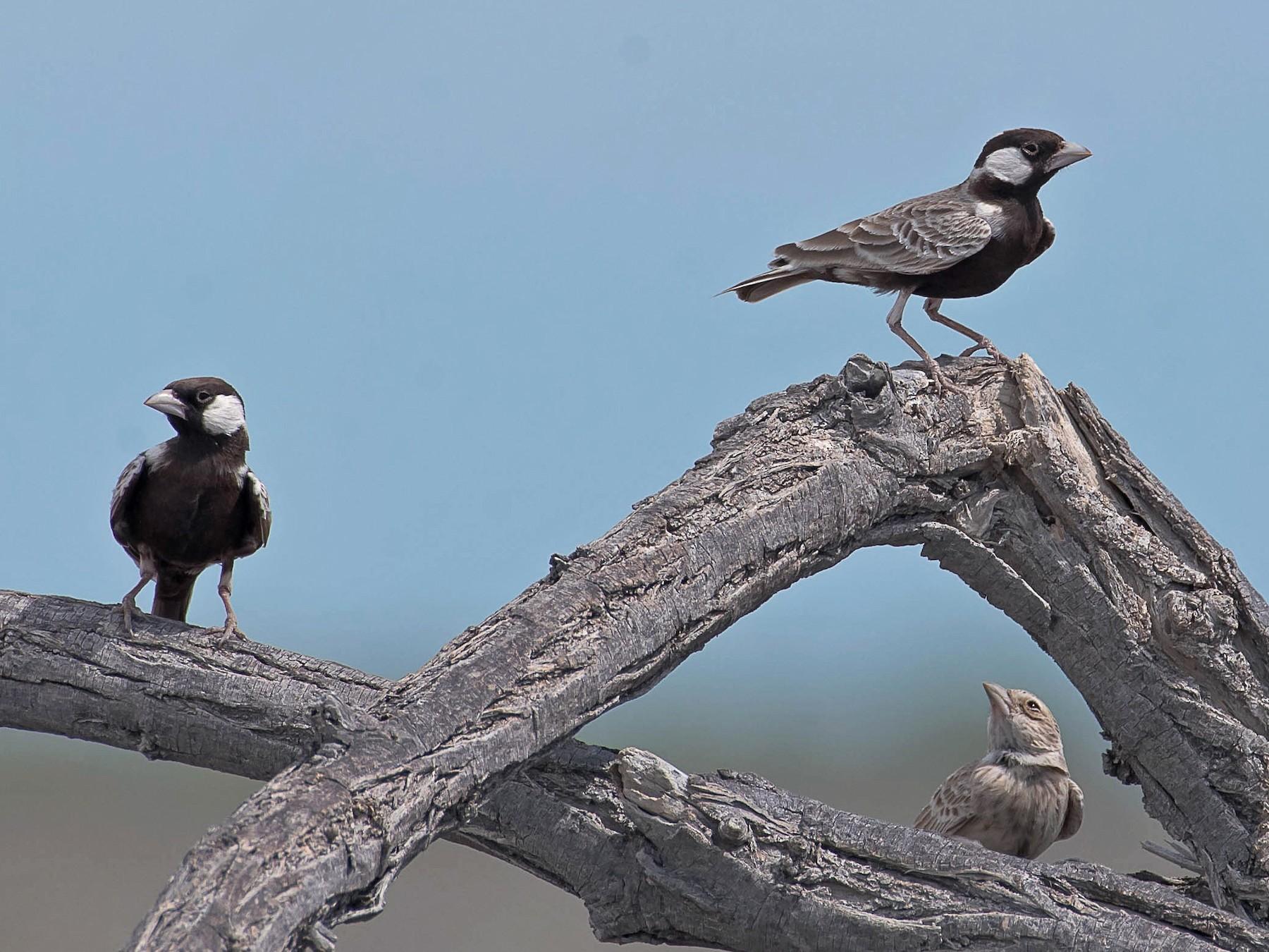 Gray-backed Sparrow-Lark - Rogério Rodrigues