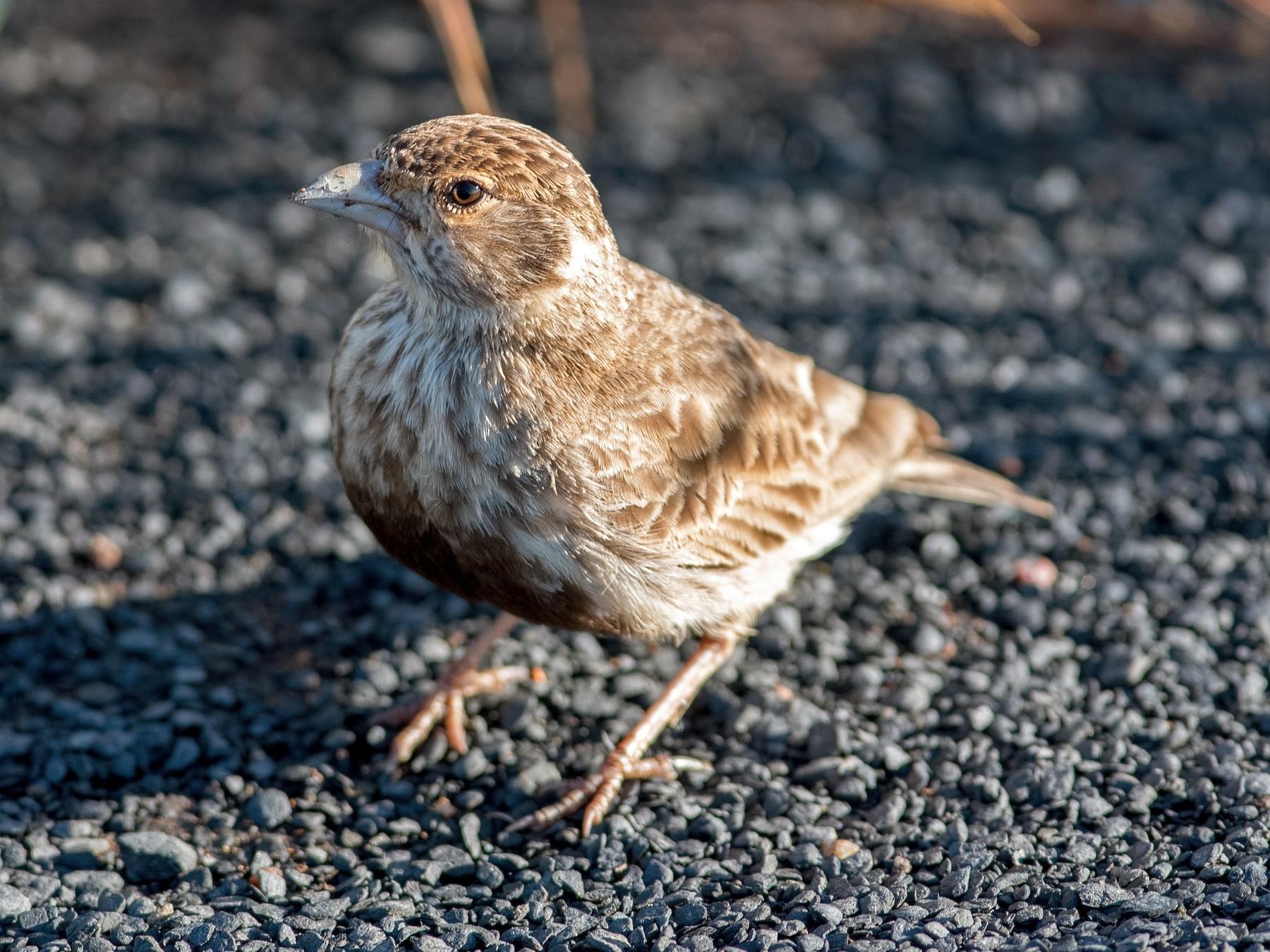 Gray-backed Sparrow-Lark - Shailesh Pinto