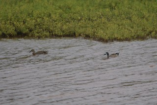 Blue-winged Teal, ML209951621