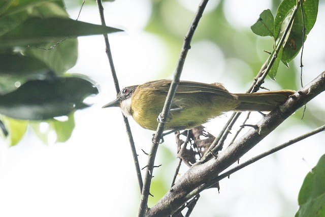 Red-tailed Greenbul