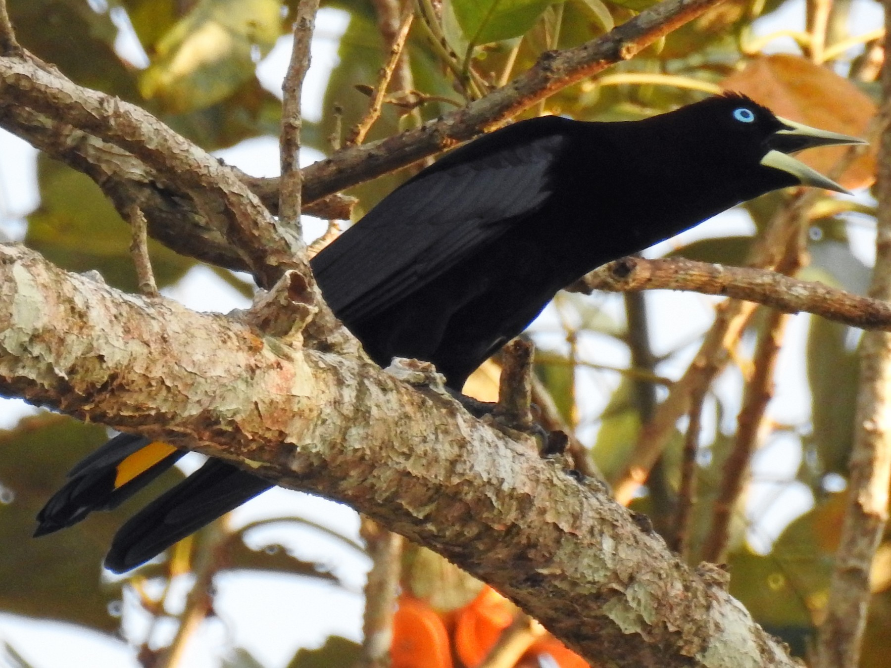 Band-tailed Cacique - Luis Rodriguez