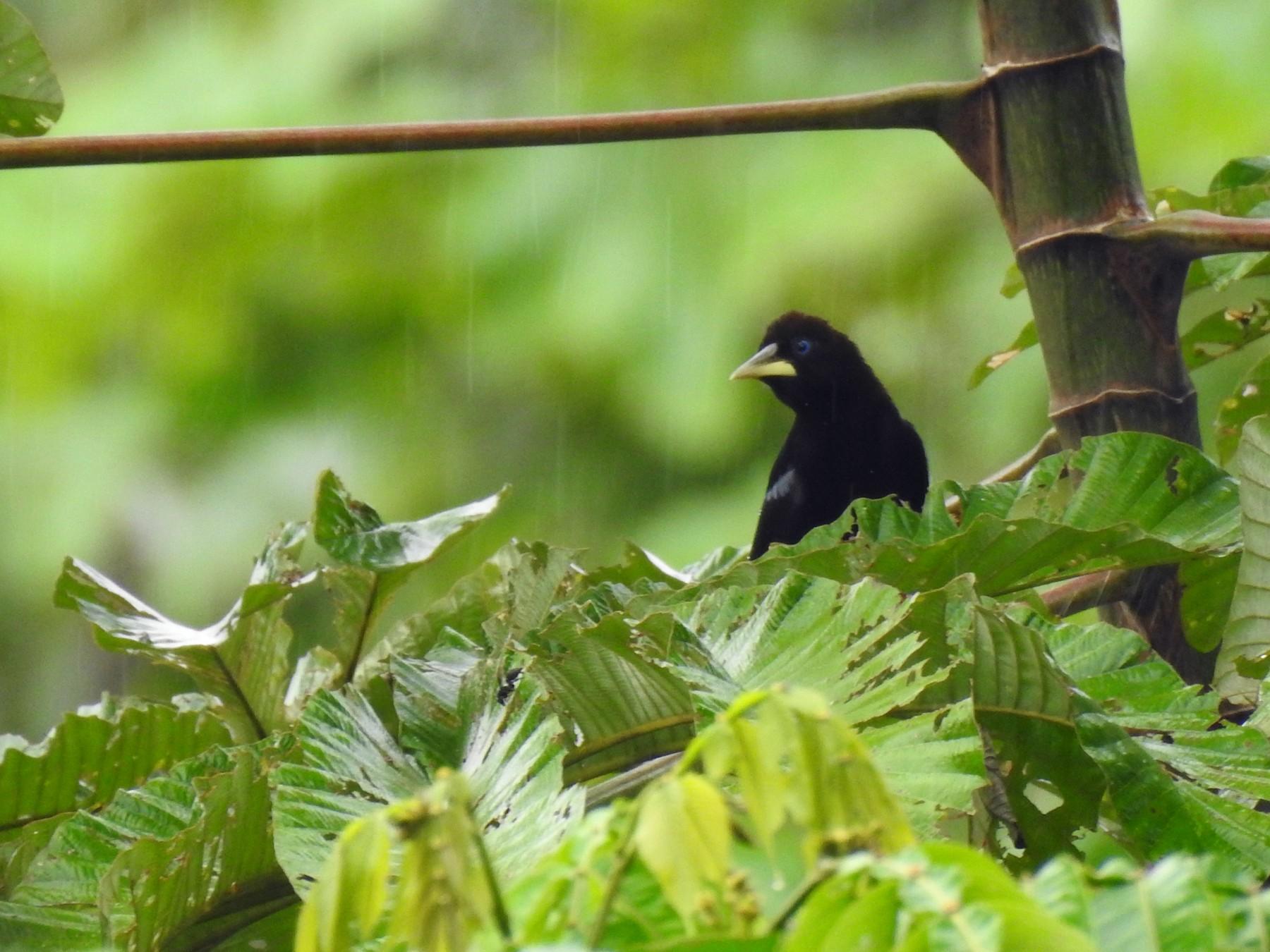Band-tailed Cacique - Julio Giraldo