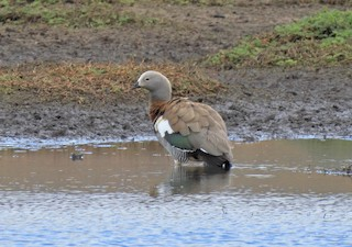 Ashy-headed Goose, ML210202401