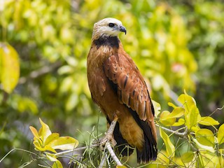 - Black-collared Hawk