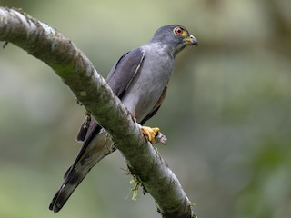 - Rufous-thighed Kite