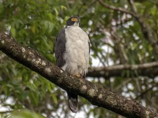 - Gray-bellied Hawk