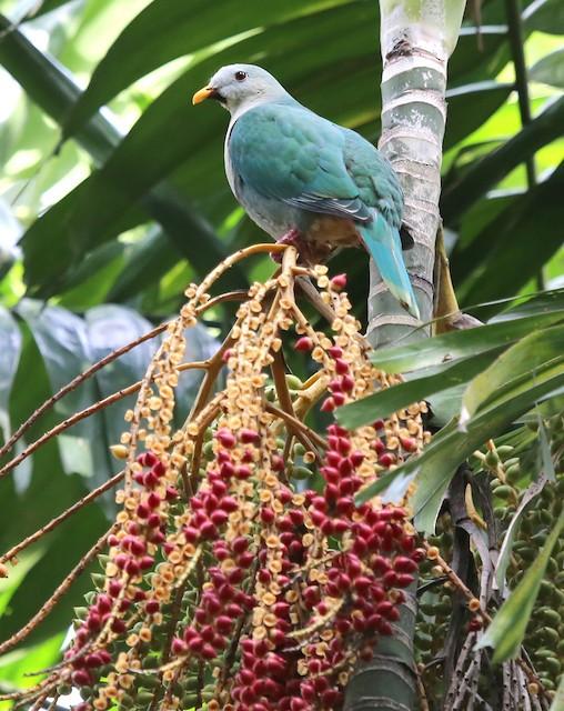 Black-chinned Fruit-Dove