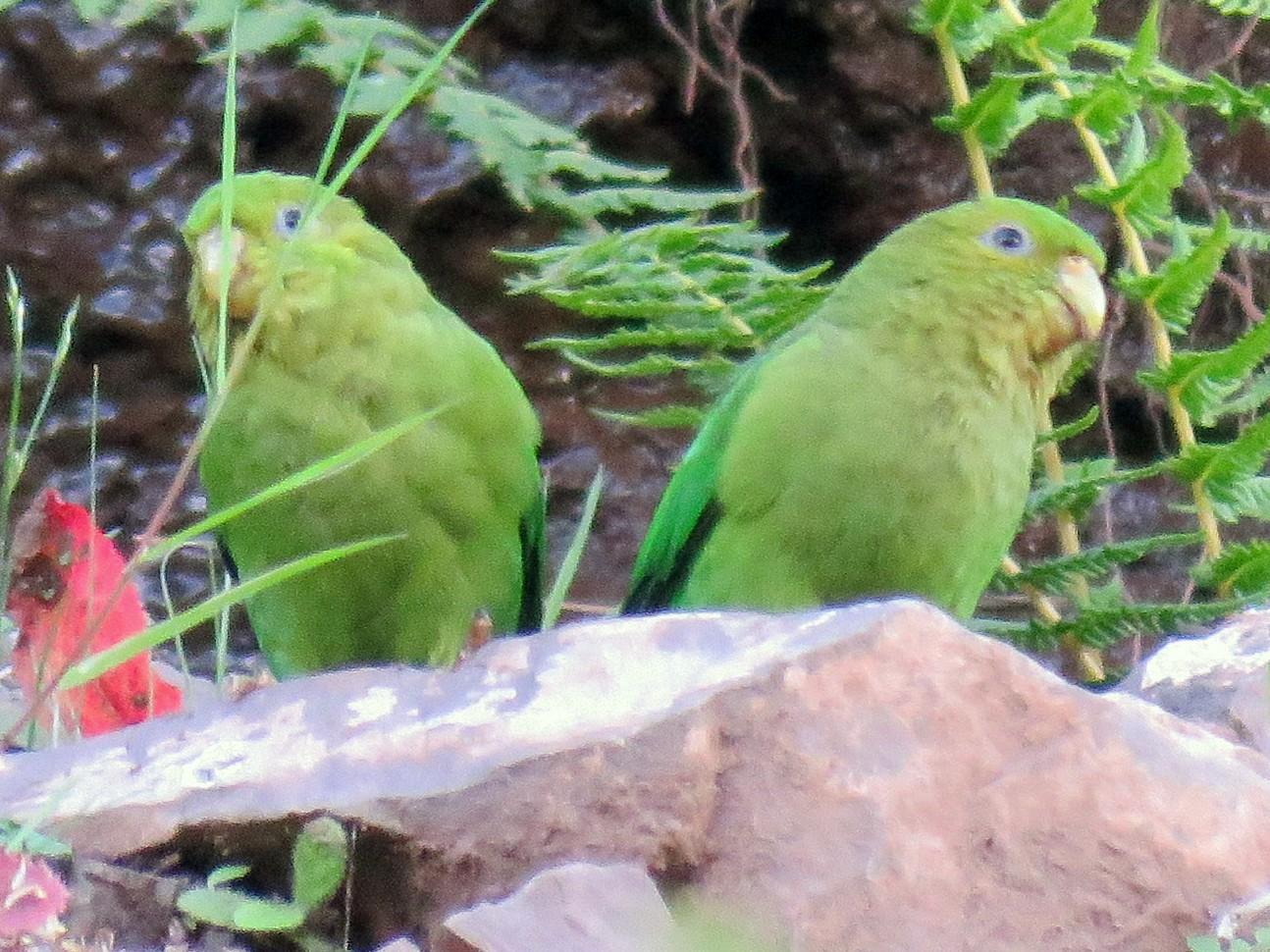 Andean Parakeet - Nestor Ccacya Baca