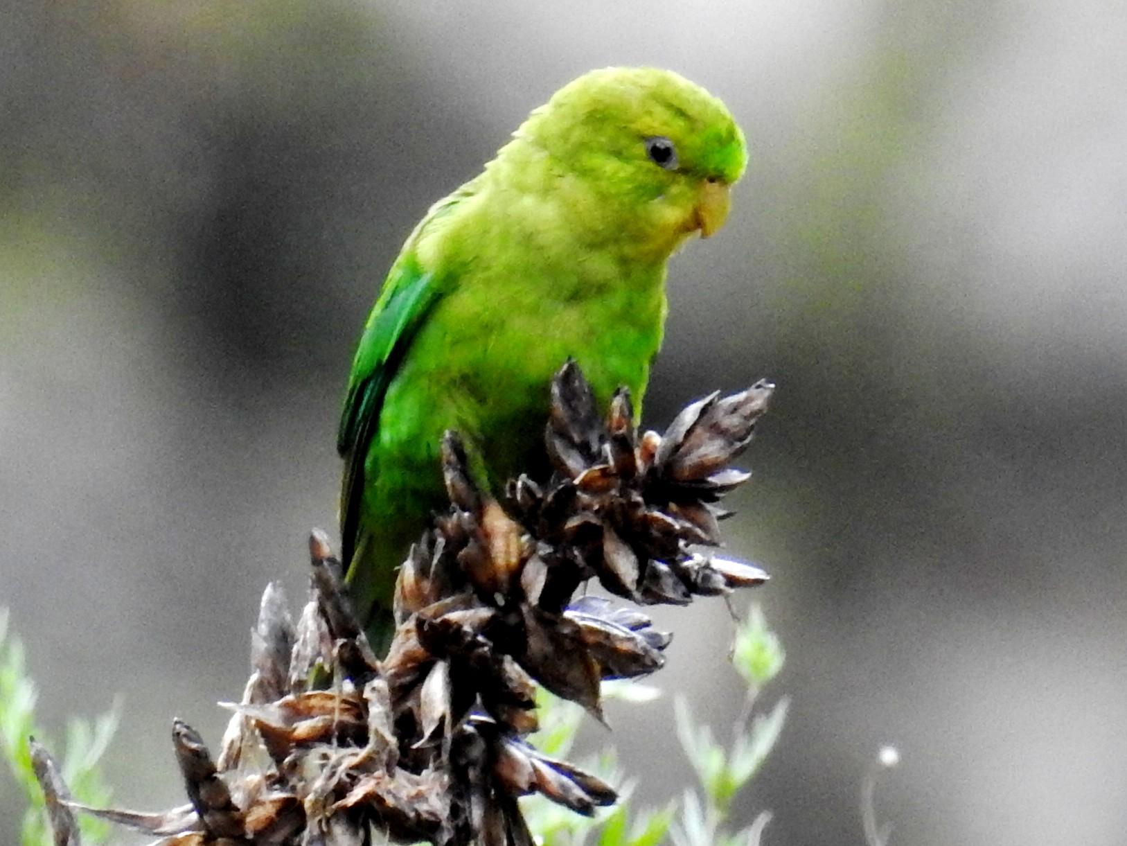 Andean Parakeet - Fernando Angulo - CORBIDI