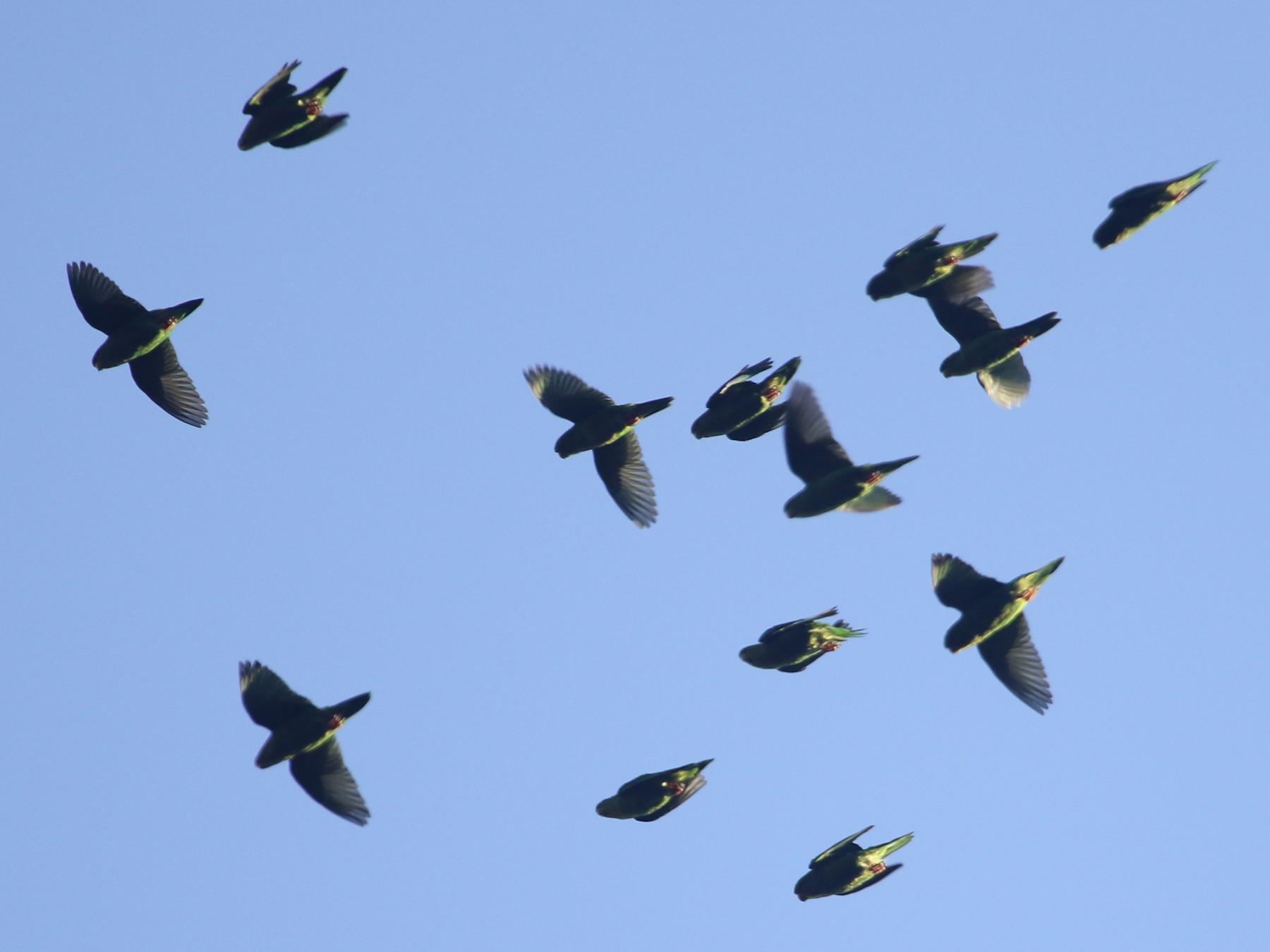 Andean Parakeet - Eric Heisey