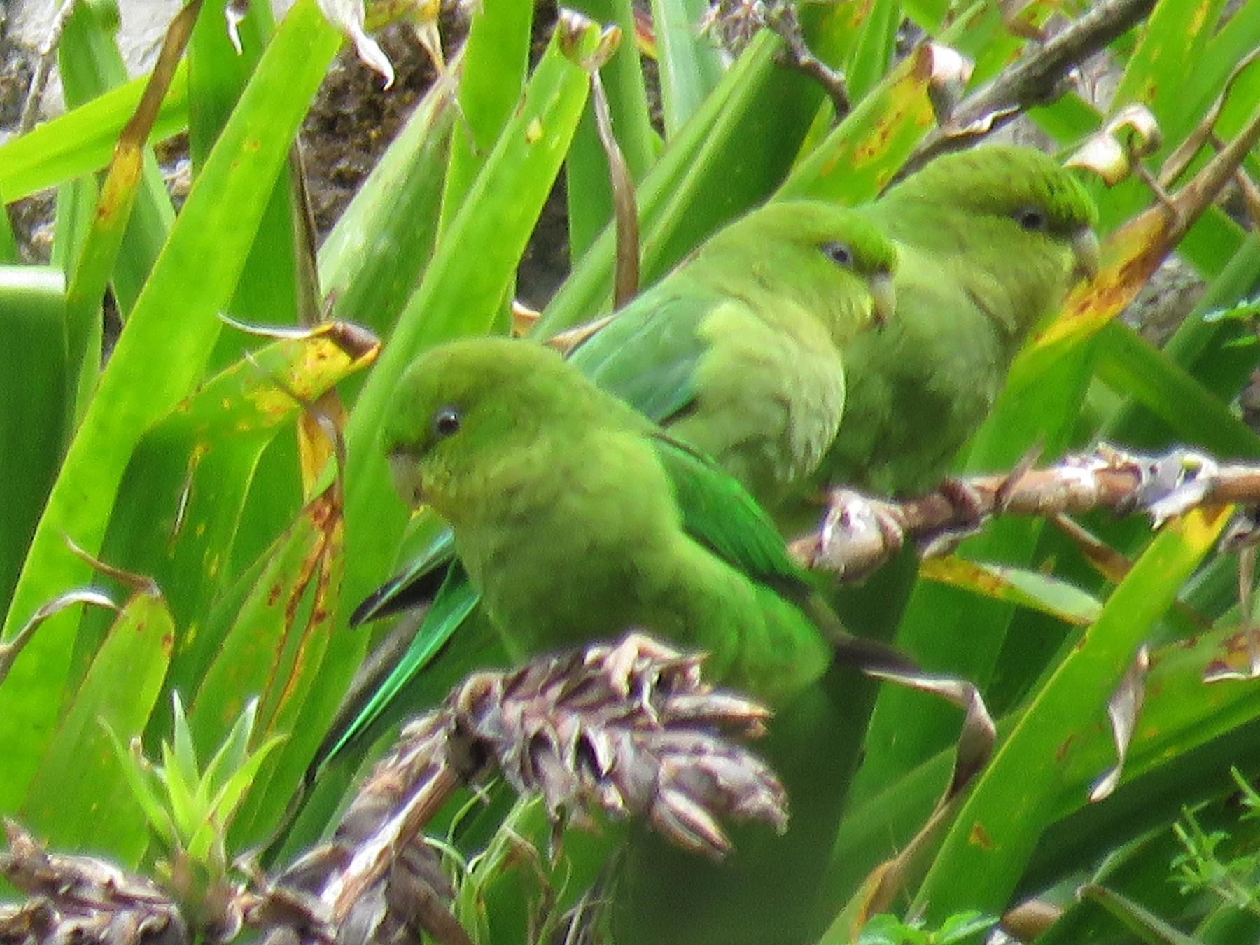 Andean Parakeet - Manuel Roncal-Rabanal
