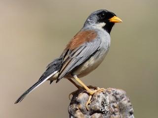 - Buff-bridled Inca-Finch