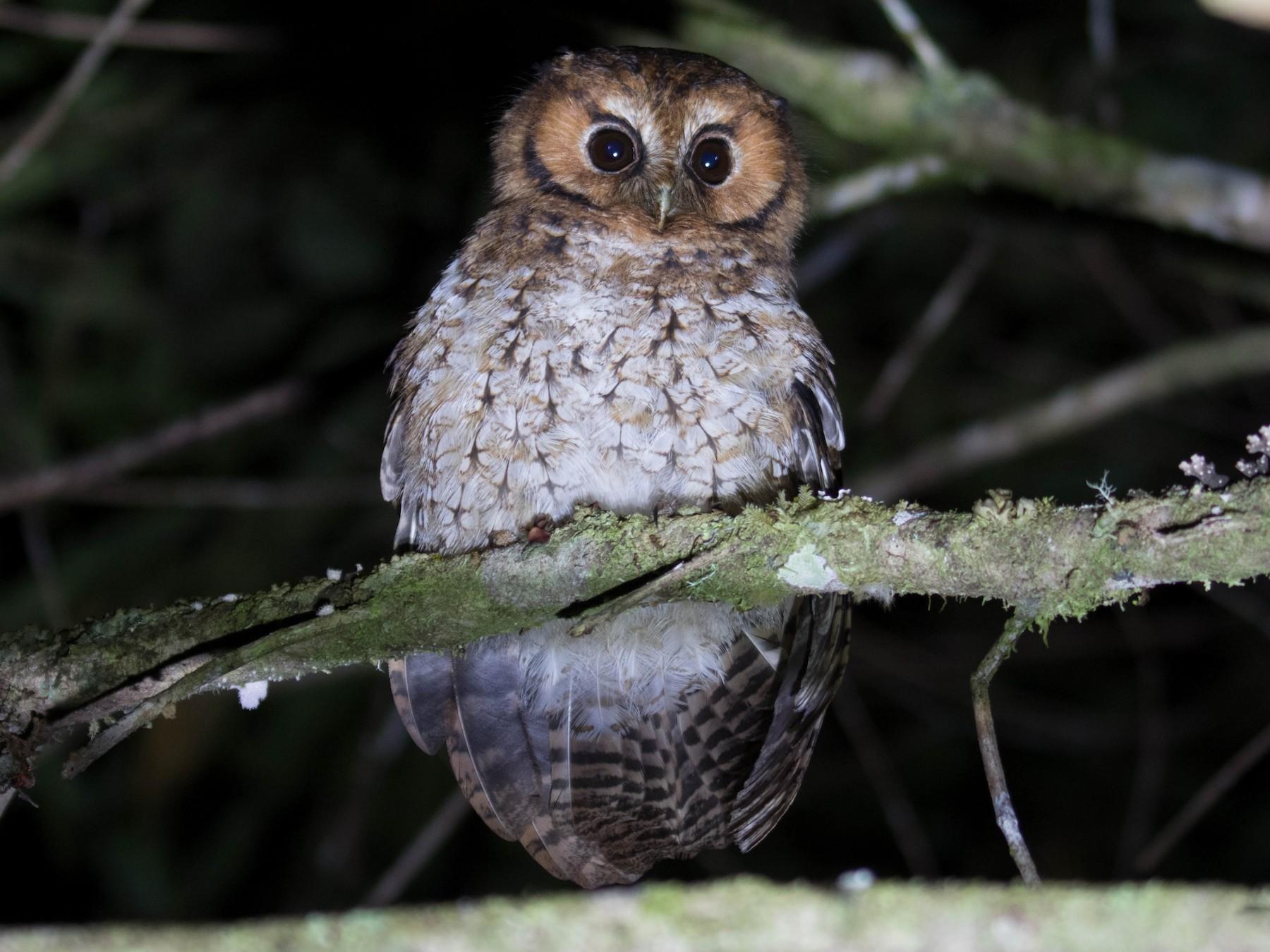 Cloud-forest Screech-Owl - Ross Gallardy