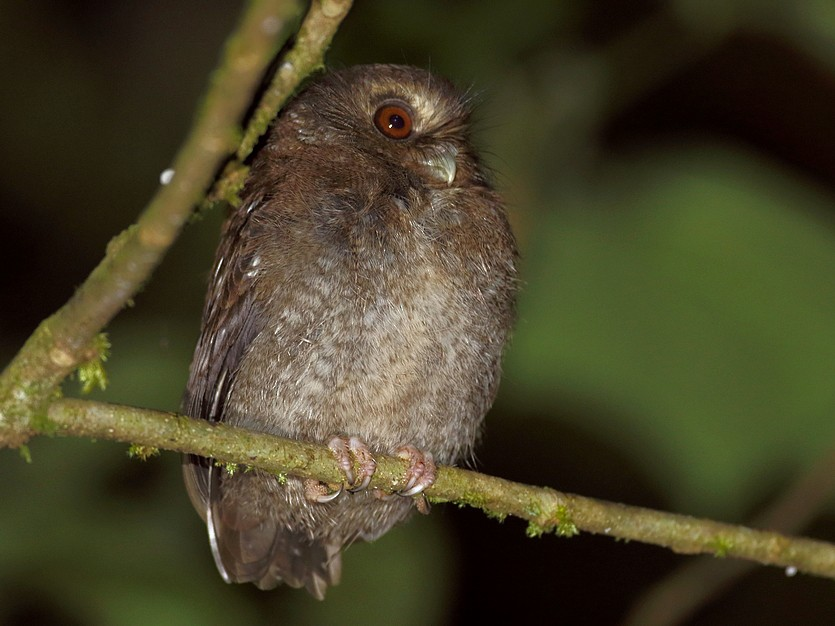 Long-whiskered Owlet - Carlos Calle Quispe