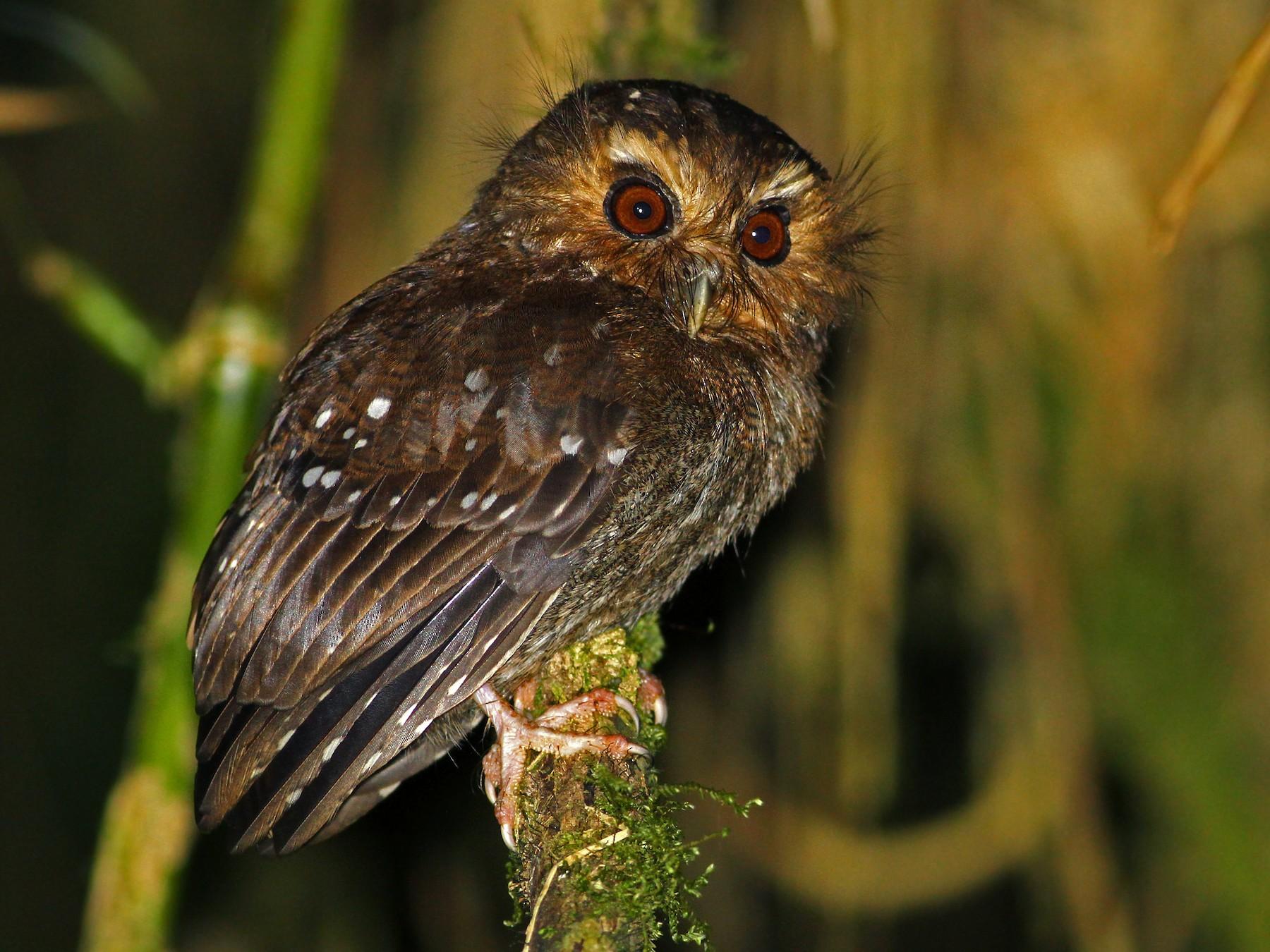 Long-whiskered Owlet - Andrew Spencer
