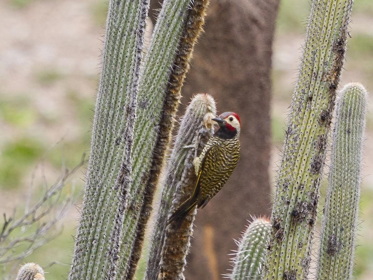 Black-necked Woodpecker - Peter Hawrylyshyn