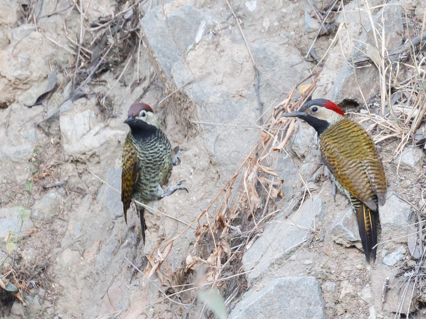 Black-necked Woodpecker - Patrick Van Thull