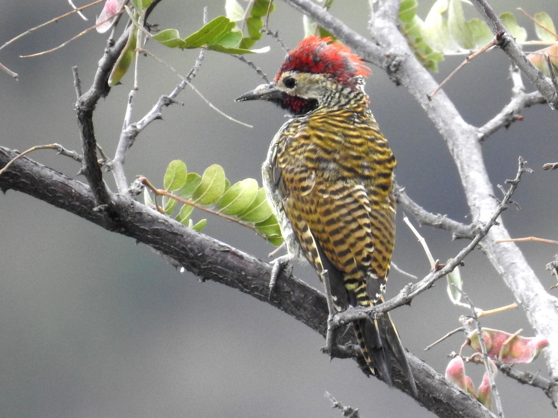 Black-necked Woodpecker - Fernando Angulo - CORBIDI