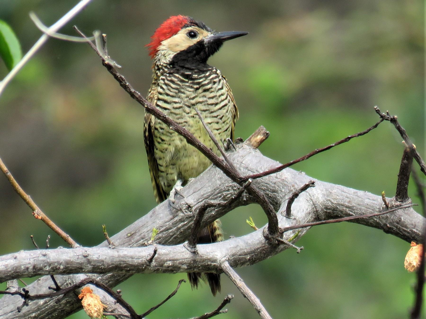 Black-necked Woodpecker - Michel Turcot